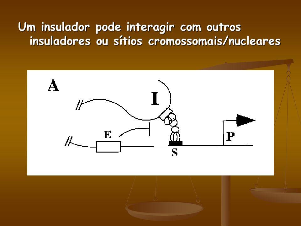 Um insulador pode interagir com outros insuladores ou sítios cromossomais/nucleares