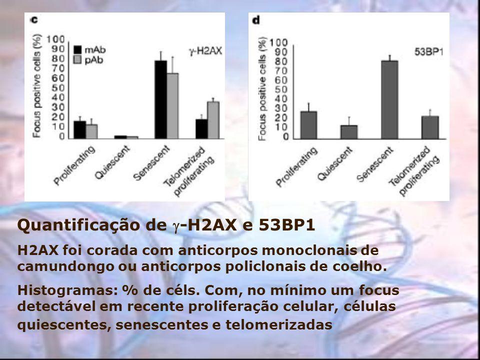 Quantificação de -H2AX e 53BP1