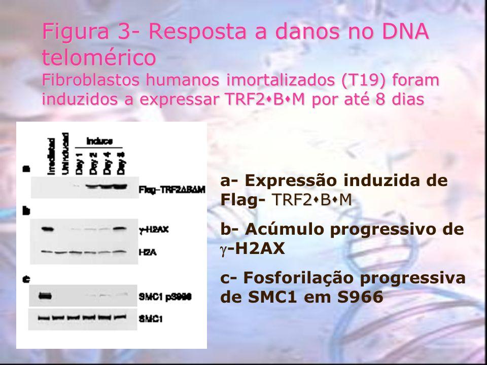 Figura 3- Resposta a danos no DNA telomérico Fibroblastos humanos imortalizados (T19) foram induzidos a expressar TRF2BM por até 8 dias