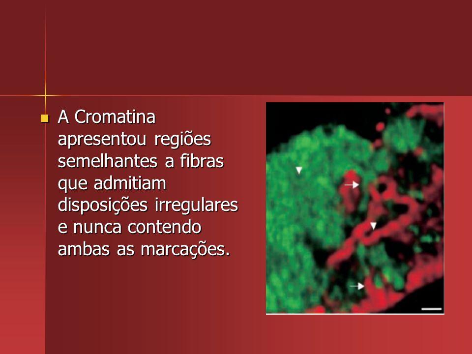 A Cromatina apresentou regiões semelhantes a fibras que admitiam disposições irregulares e nunca contendo ambas as marcações.