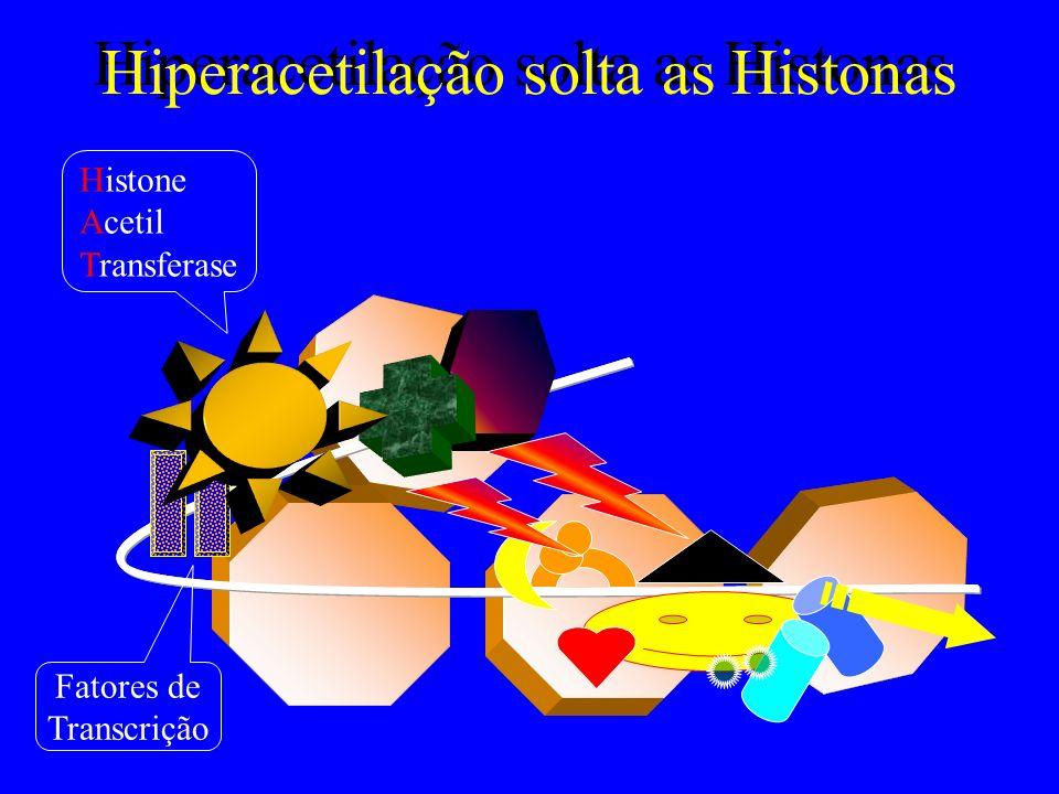 Hiperacetilação solta as Histonas