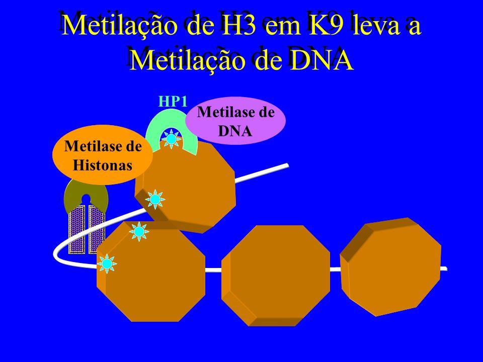 Metilação de H3 em K9 leva a Metilação de DNA