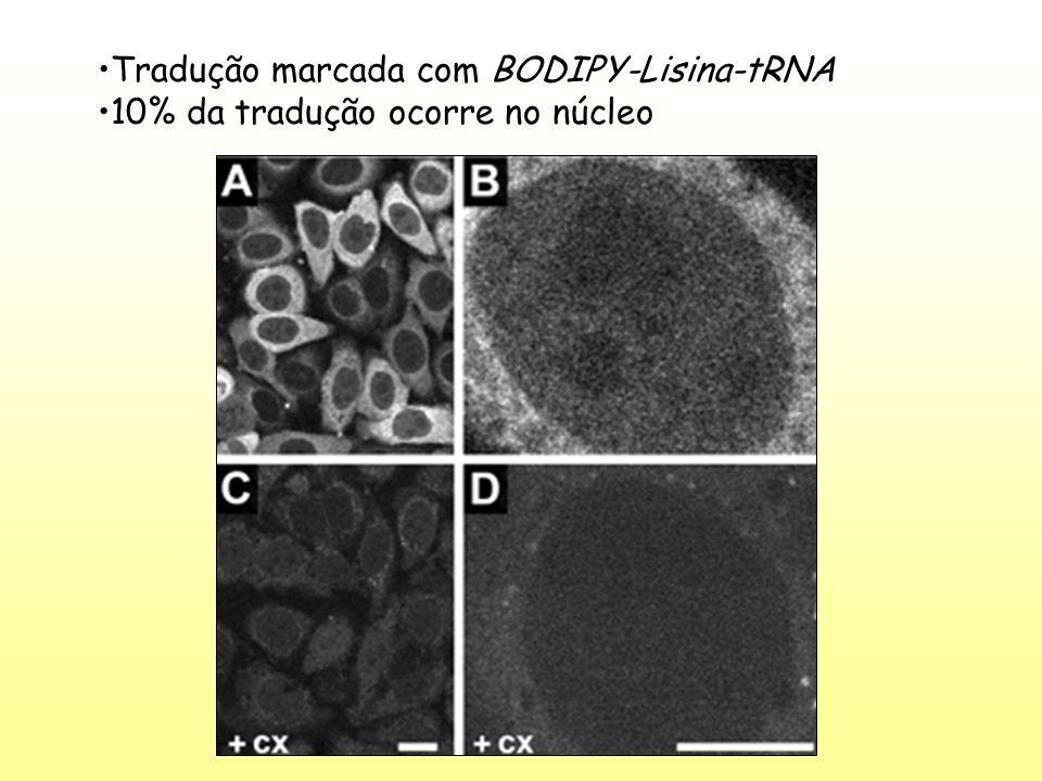 Tradução marcada com BODIPY-Lisina-tRNA