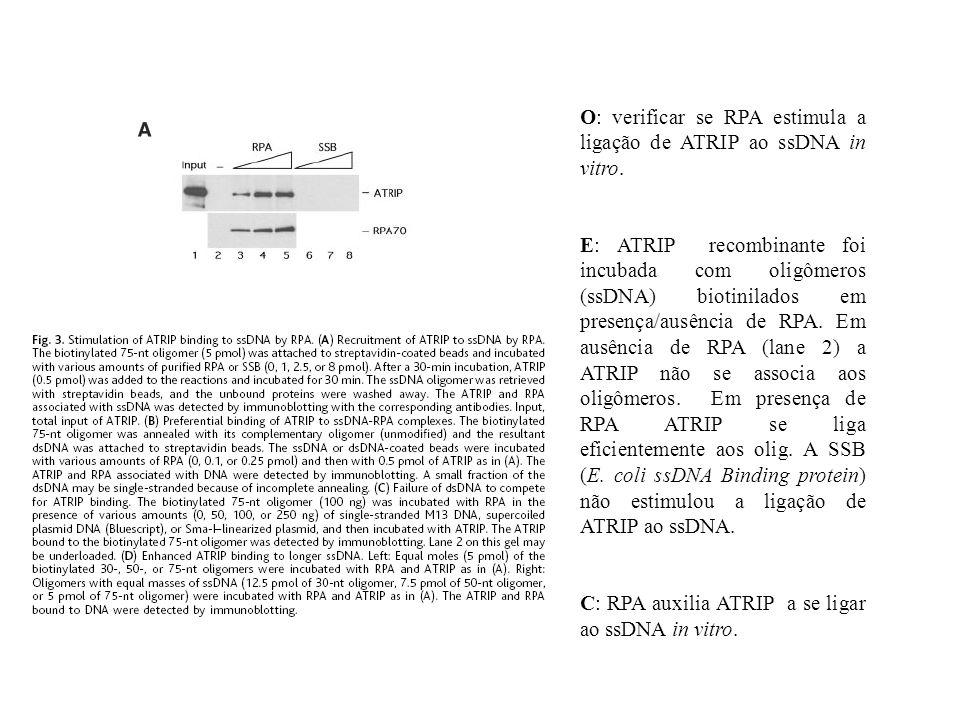 O: verificar se RPA estimula a ligação de ATRIP ao ssDNA in vitro.