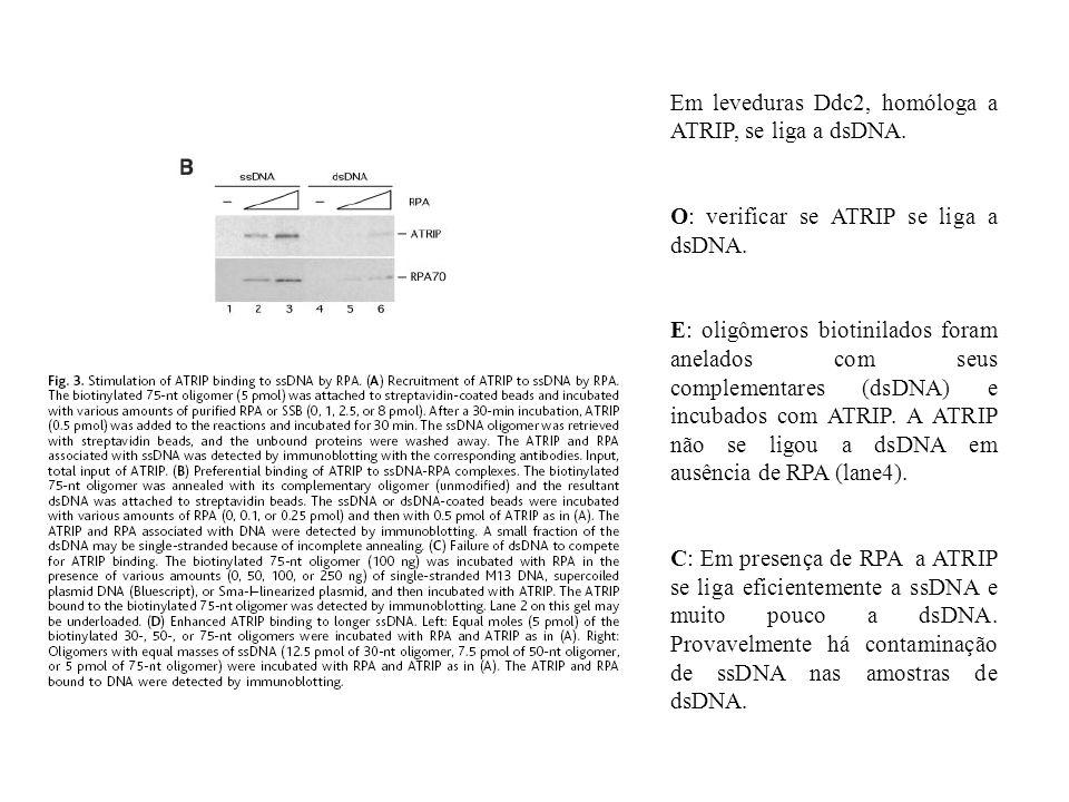 Em leveduras Ddc2, homóloga a ATRIP, se liga a dsDNA.