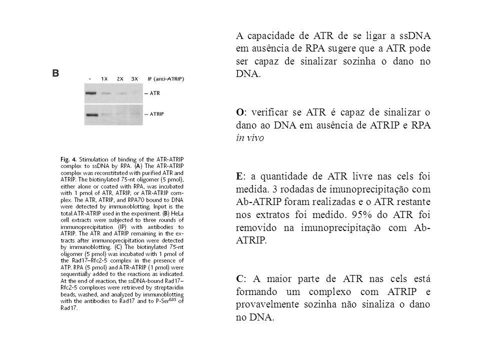 A capacidade de ATR de se ligar a ssDNA em ausência de RPA sugere que a ATR pode ser capaz de sinalizar sozinha o dano no DNA.