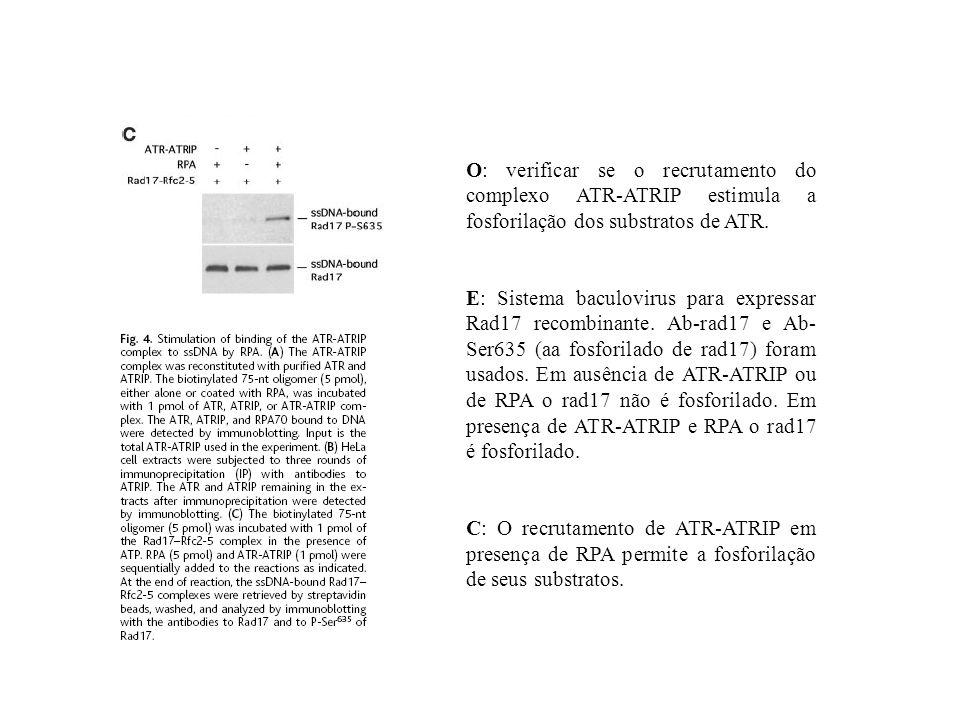 O: verificar se o recrutamento do complexo ATR-ATRIP estimula a fosforilação dos substratos de ATR.