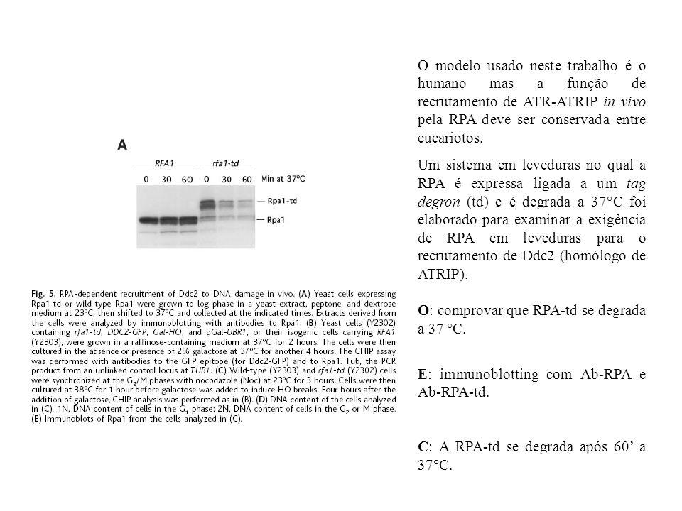 O modelo usado neste trabalho é o humano mas a função de recrutamento de ATR-ATRIP in vivo pela RPA deve ser conservada entre eucariotos.