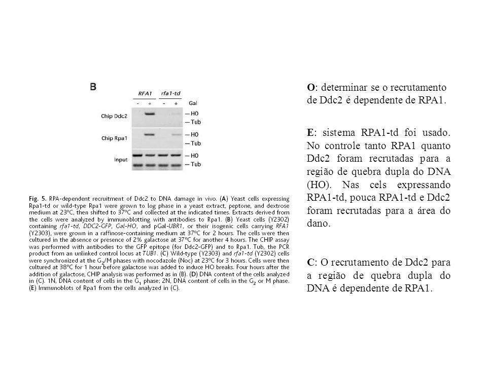 O: determinar se o recrutamento de Ddc2 é dependente de RPA1.