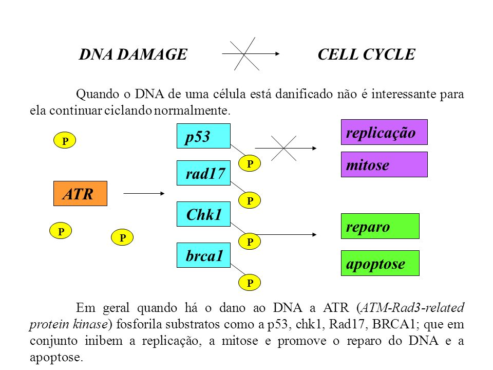DNA DAMAGE CELL CYCLE ATR p53 brca1 Chk1 rad17 replicação mitose