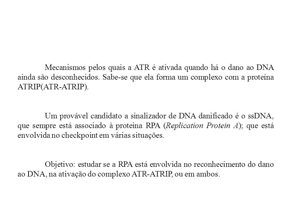 Mecanismos pelos quais a ATR é ativada quando há o dano ao DNA ainda são desconhecidos. Sabe-se que ela forma um complexo com a proteína ATRIP(ATR-ATRIP).