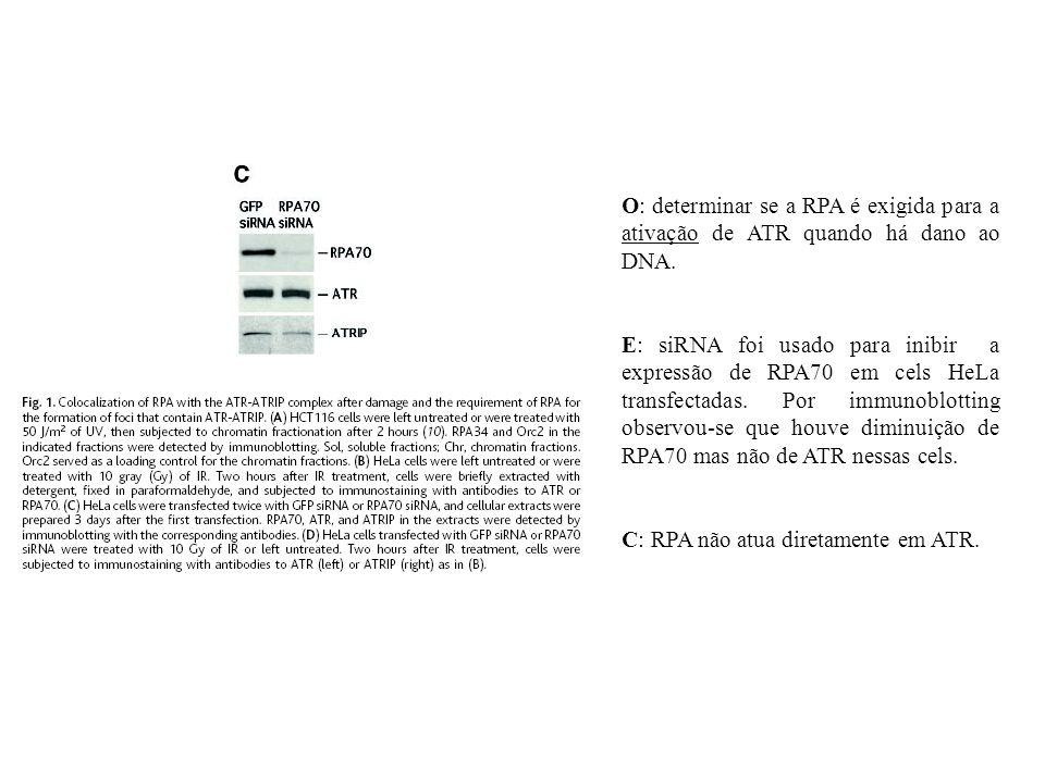 O: determinar se a RPA é exigida para a ativação de ATR quando há dano ao DNA.