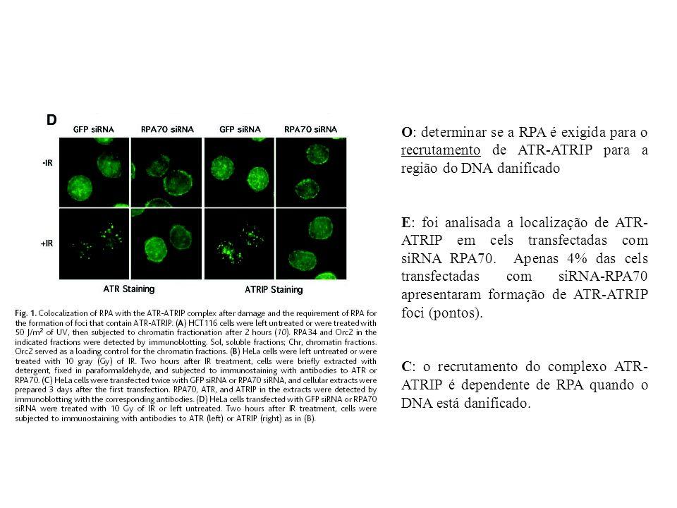 O: determinar se a RPA é exigida para o recrutamento de ATR-ATRIP para a região do DNA danificado