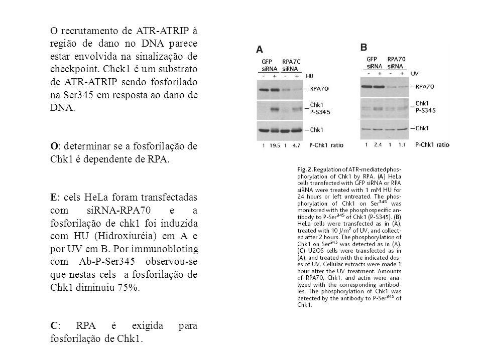 O recrutamento de ATR-ATRIP à região de dano no DNA parece estar envolvida na sinalização de checkpoint. Chck1 é um substrato de ATR-ATRIP sendo fosforilado na Ser345 em resposta ao dano de DNA.