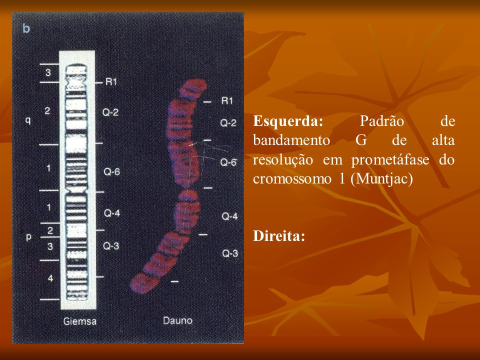 Esquerda: Padrão de bandamento G de alta resolução em prometáfase do cromossomo 1 (Muntjac)