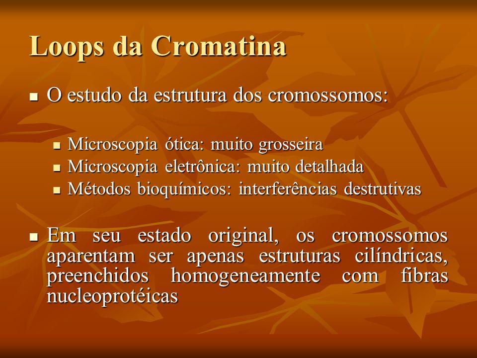 Loops da Cromatina O estudo da estrutura dos cromossomos: