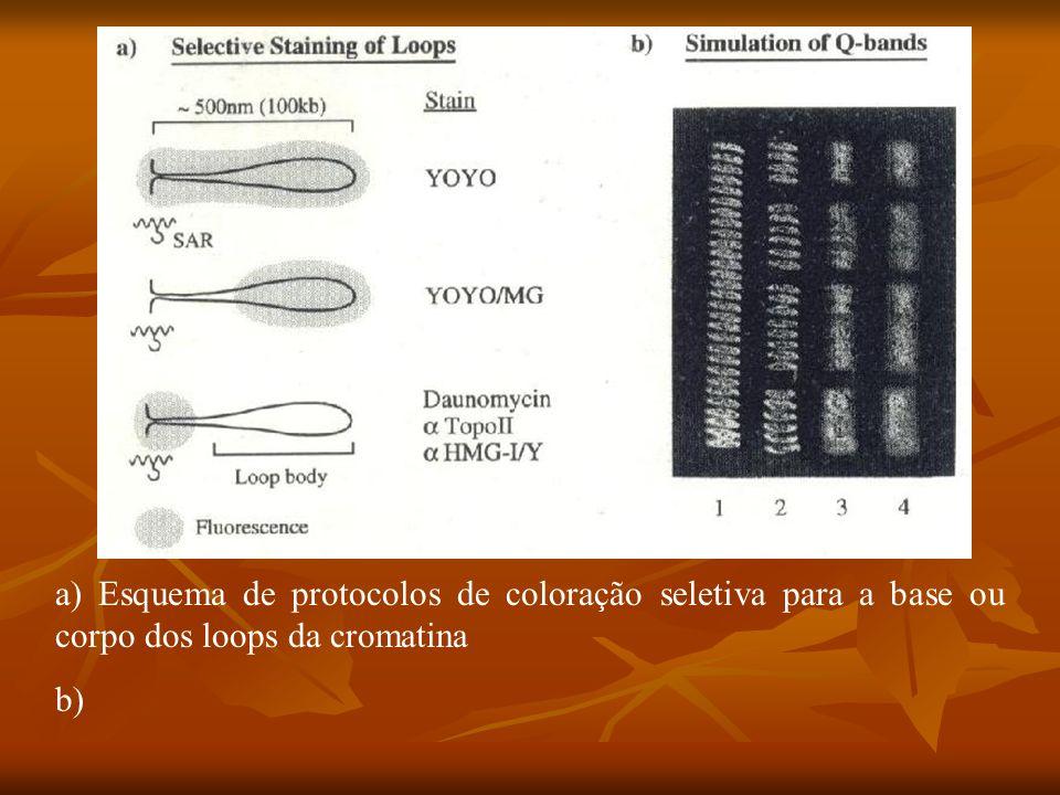 a) Esquema de protocolos de coloração seletiva para a base ou corpo dos loops da cromatina