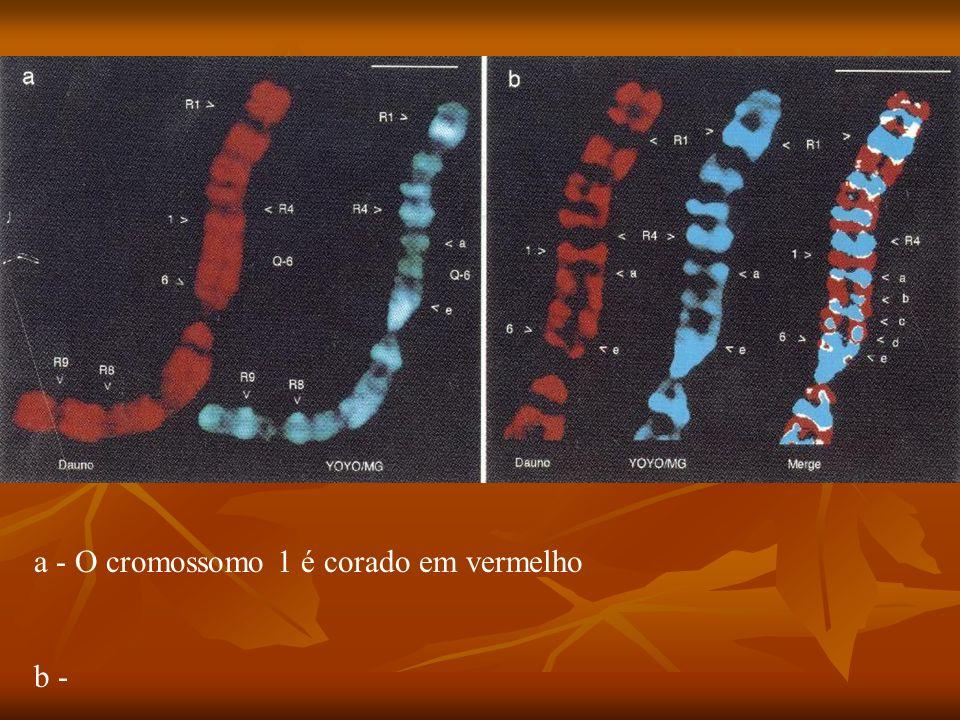 a - O cromossomo 1 é corado em vermelho