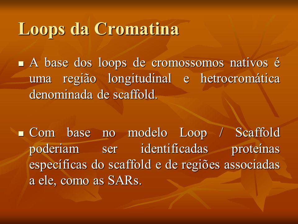 Loops da CromatinaA base dos loops de cromossomos nativos é uma região longitudinal e hetrocromática denominada de scaffold.