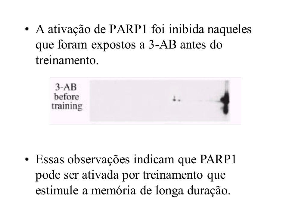 A ativação de PARP1 foi inibida naqueles que foram expostos a 3-AB antes do treinamento.