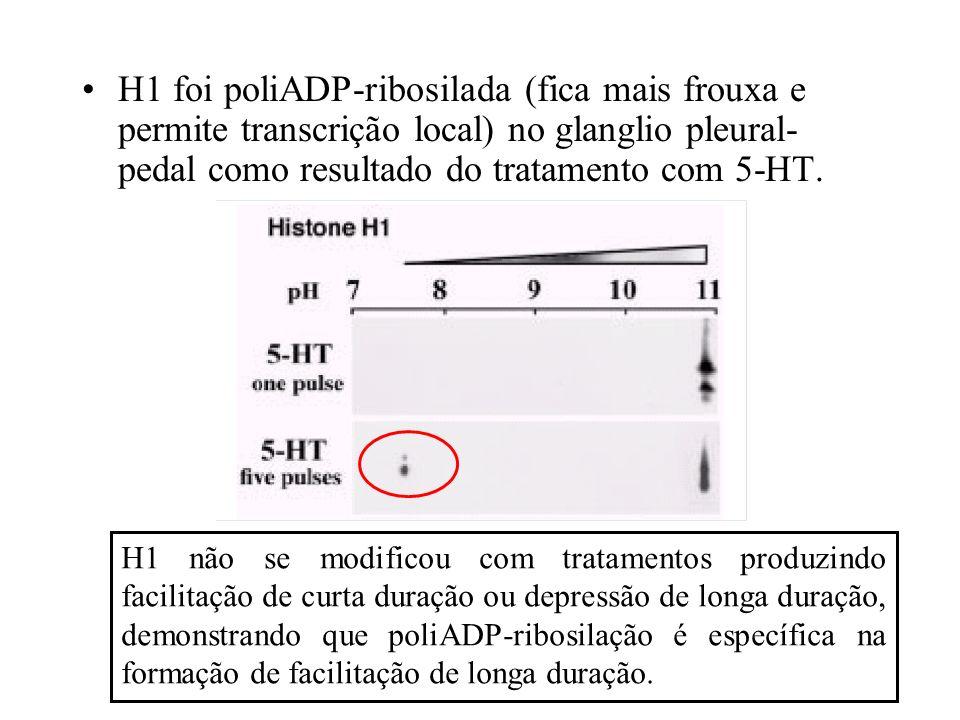 H1 foi poliADP-ribosilada (fica mais frouxa e permite transcrição local) no glanglio pleural-pedal como resultado do tratamento com 5-HT.