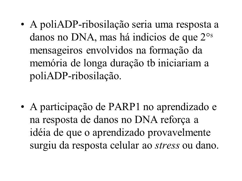A poliADP-ribosilação seria uma resposta a danos no DNA, mas há indicios de que 2°s mensageiros envolvidos na formação da memória de longa duração tb iniciariam a poliADP-ribosilação.