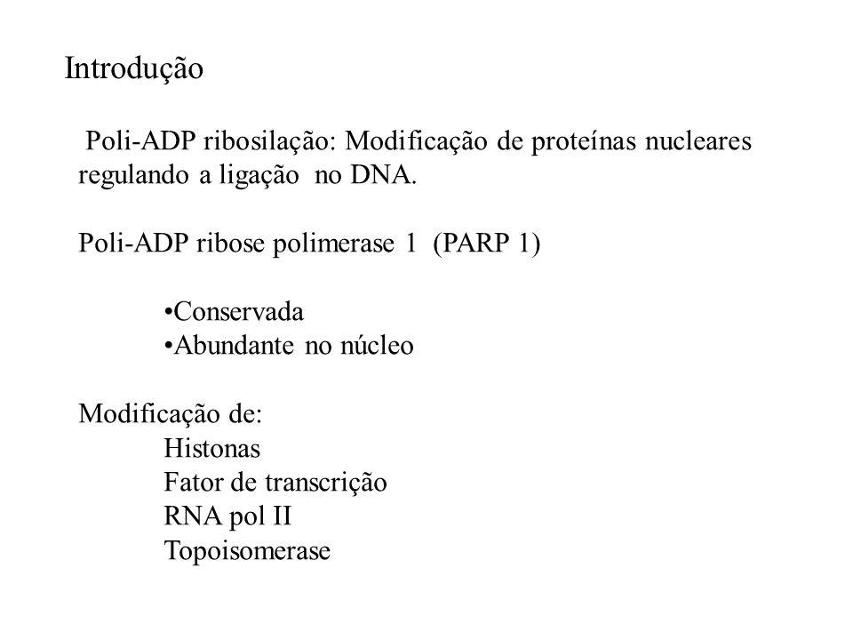 Introdução Poli-ADP ribosilação: Modificação de proteínas nucleares regulando a ligação no DNA. Poli-ADP ribose polimerase 1 (PARP 1)