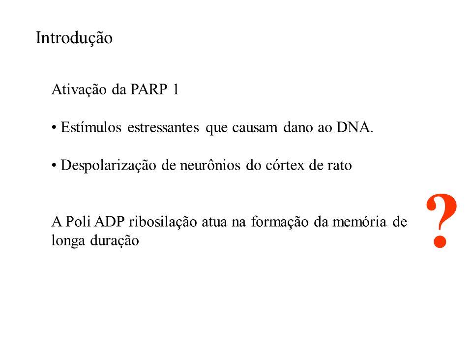 Introdução Ativação da PARP 1
