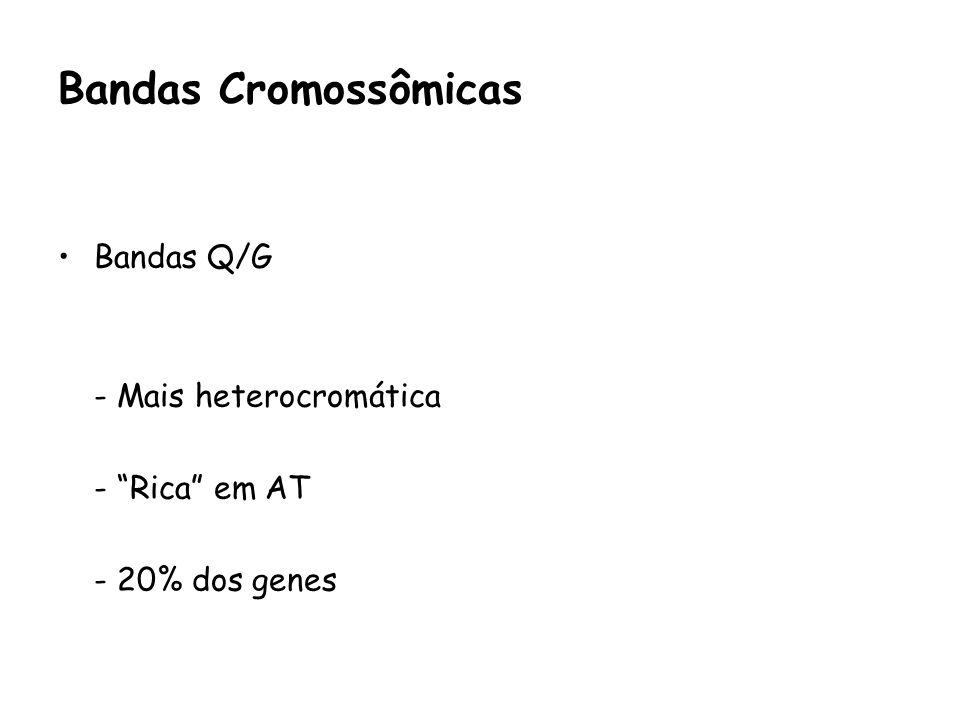 Bandas Cromossômicas Bandas Q/G - Mais heterocromática - Rica em AT