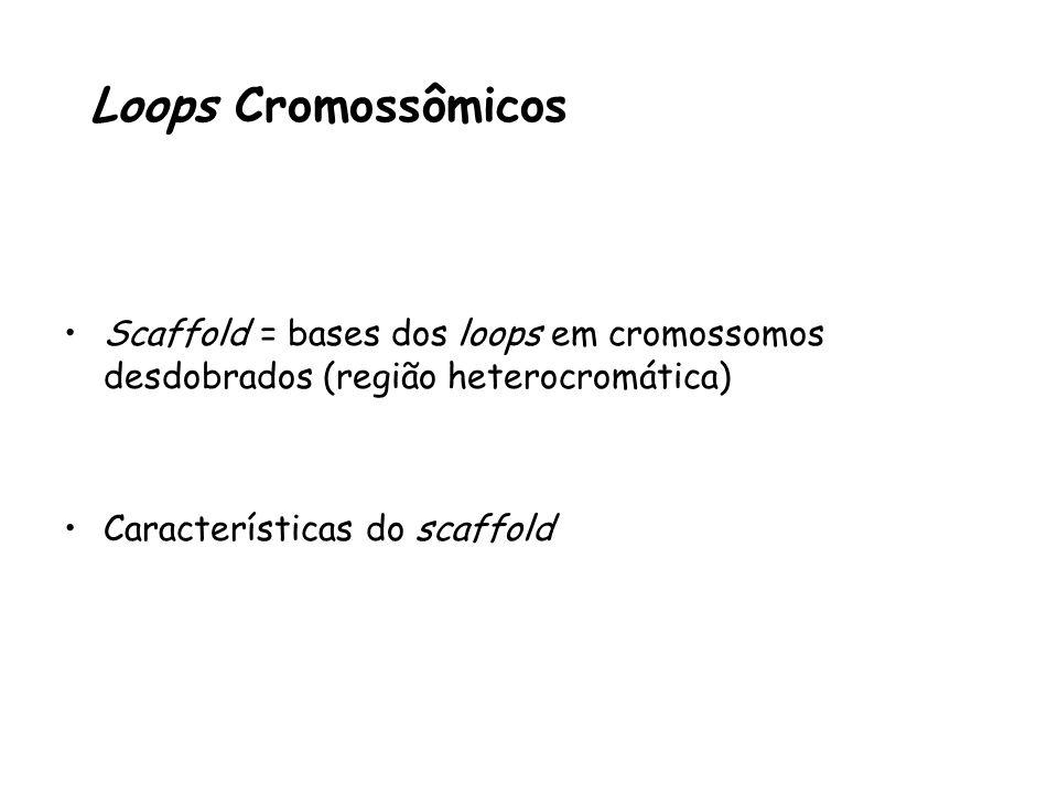 Loops Cromossômicos Scaffold = bases dos loops em cromossomos desdobrados (região heterocromática) Características do scaffold.