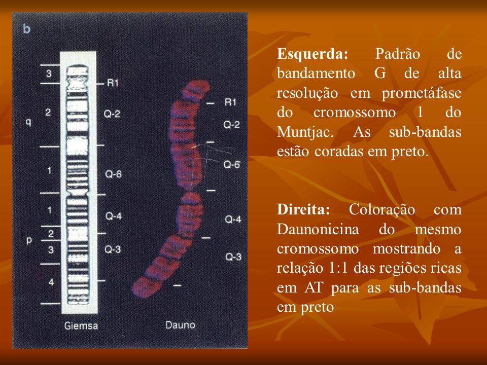 Esquerda: Padrão de bandamento G de alta resolução em prometáfase do cromossomo 1 do Muntjac. As sub-bandas estão coradas em preto.