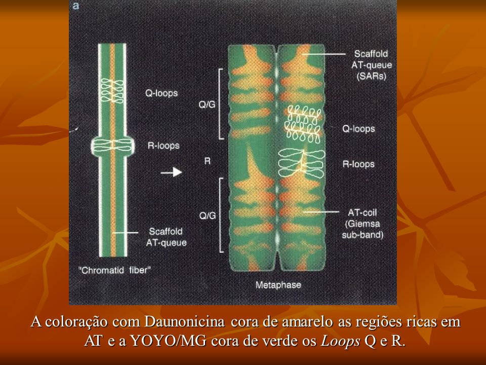 A coloração com Daunonicina cora de amarelo as regiões ricas em AT e a YOYO/MG cora de verde os Loops Q e R.