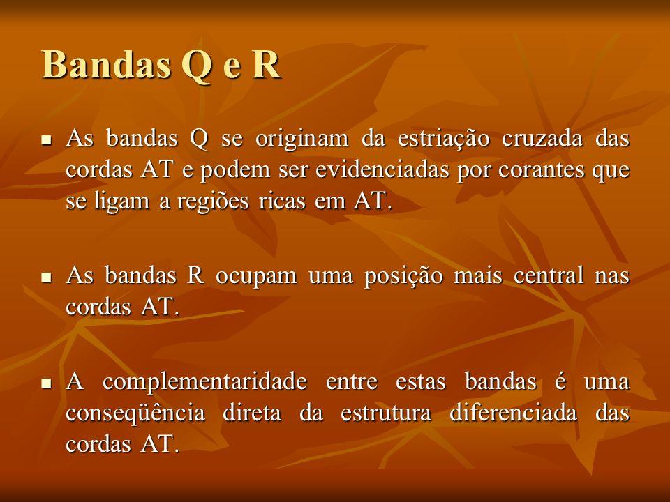 Bandas Q e R As bandas Q se originam da estriação cruzada das cordas AT e podem ser evidenciadas por corantes que se ligam a regiões ricas em AT.
