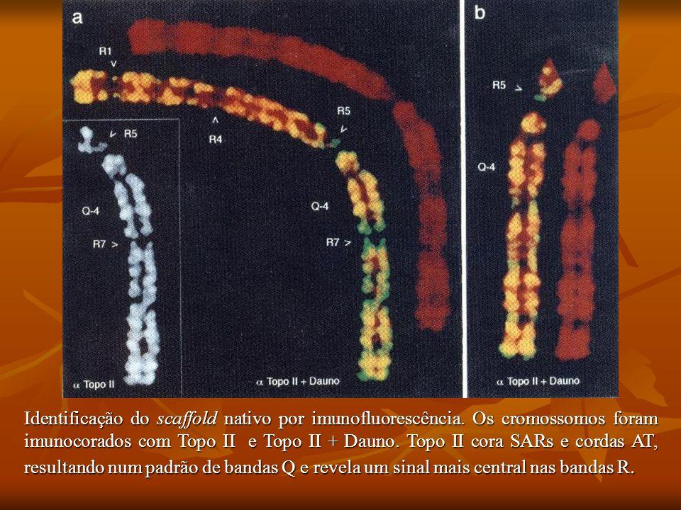 Identificação do scaffold nativo por imunofluorescência