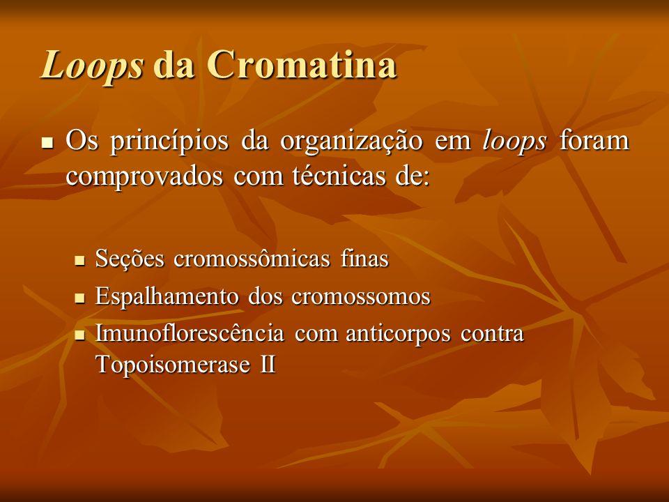 Loops da Cromatina Os princípios da organização em loops foram comprovados com técnicas de: Seções cromossômicas finas.