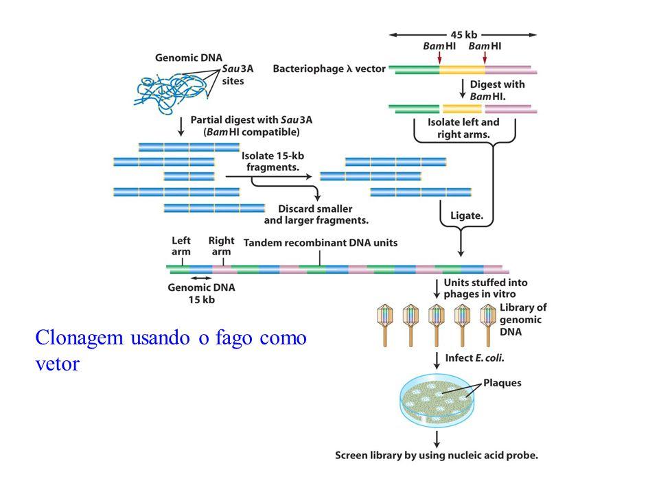 Clonagem usando o fago como vetor