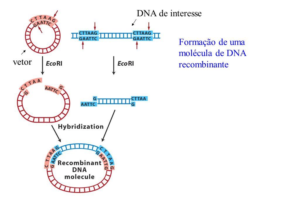 DNA de interesse Formação de uma molécula de DNA recombinante vetor