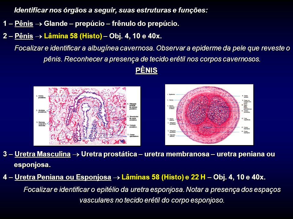 Identificar nos órgãos a seguir, suas estruturas e funções: