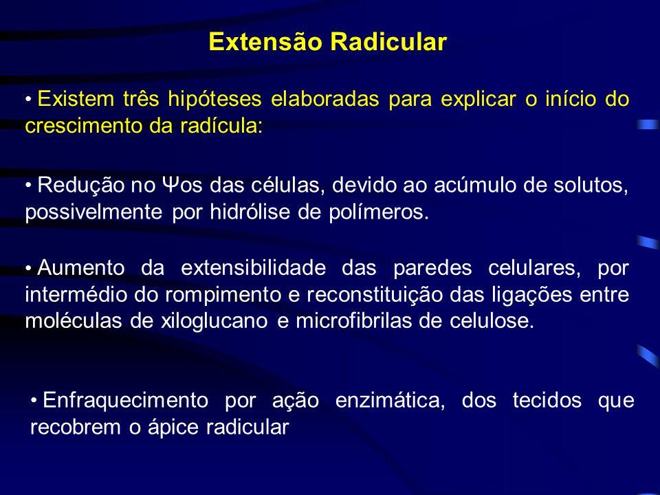 Extensão Radicular Existem três hipóteses elaboradas para explicar o início do crescimento da radícula: