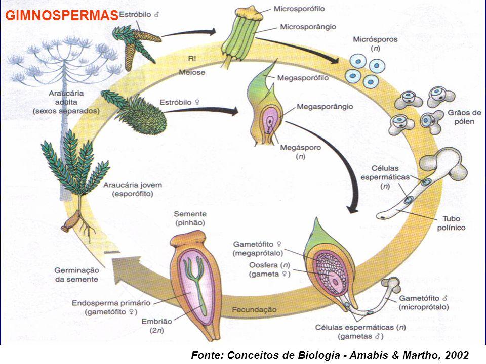 GIMNOSPERMAS Fonte: Conceitos de Biologia - Amabis & Martho, 2002