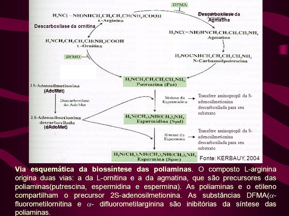 Descarboxilase da Agmatina