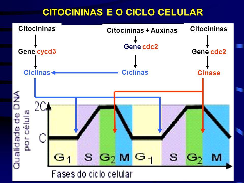 CITOCININAS E O CICLO CELULAR