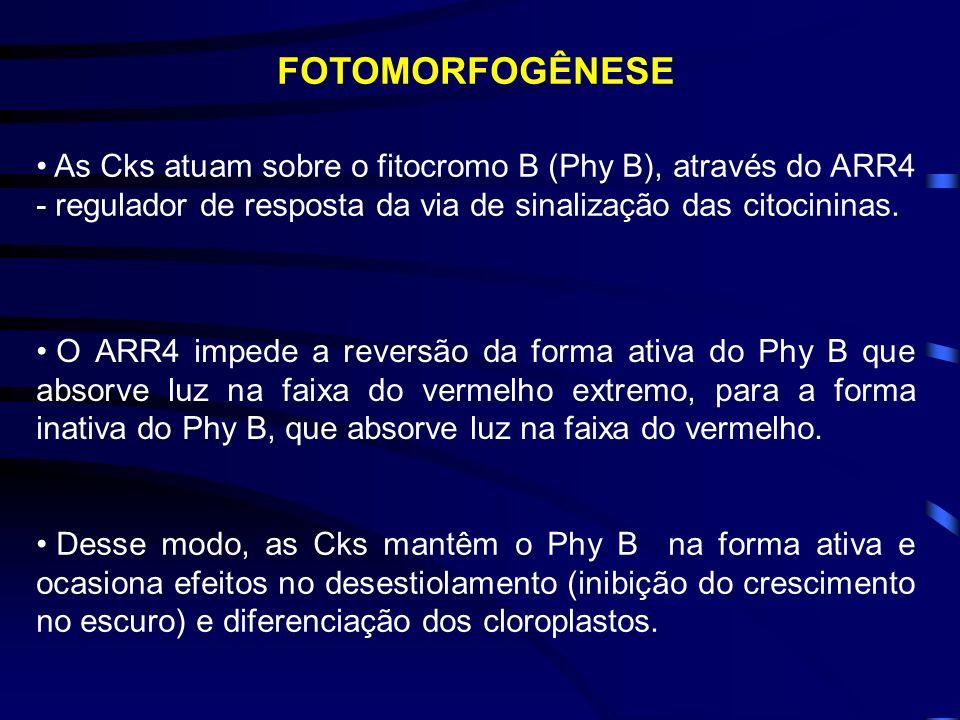FOTOMORFOGÊNESE As Cks atuam sobre o fitocromo B (Phy B), através do ARR4 - regulador de resposta da via de sinalização das citocininas.