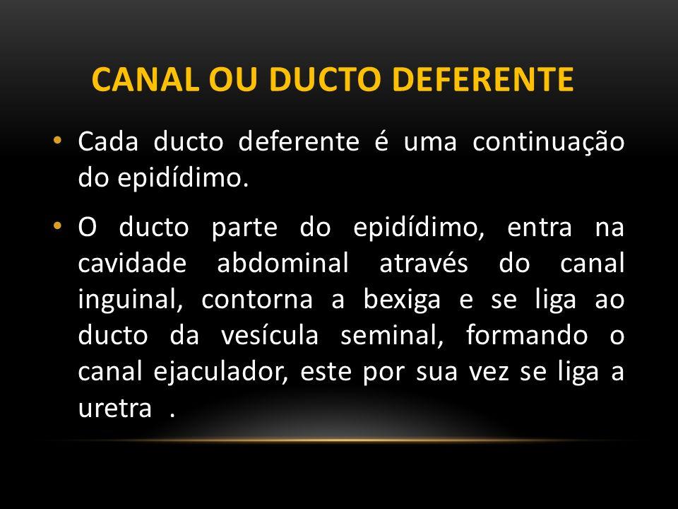 Canal ou ducto deferente