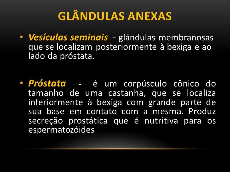 GLÂNDULAS ANEXAS Vesículas seminais - glândulas membranosas que se localizam posteriormente à bexiga e ao lado da próstata.