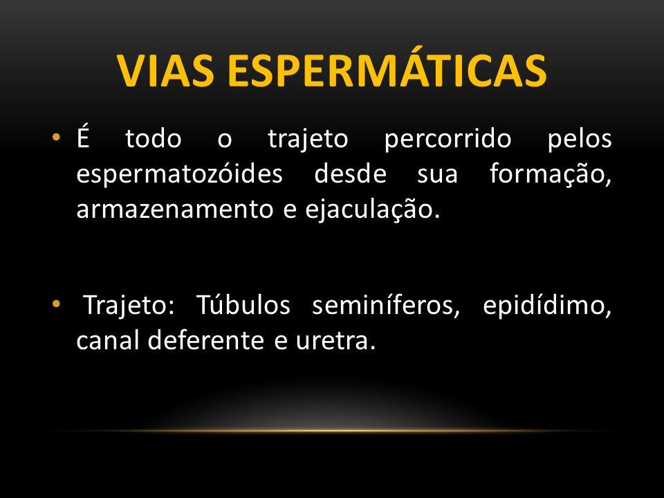 Vias espermáticas É todo o trajeto percorrido pelos espermatozóides desde sua formação, armazenamento e ejaculação.