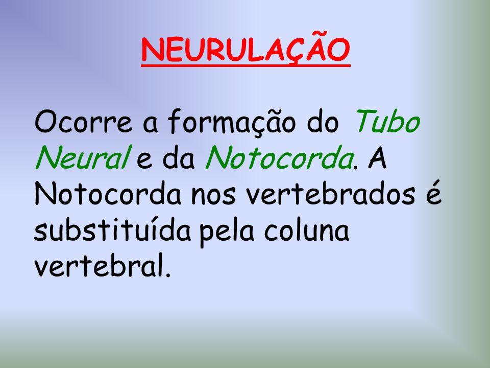 NEURULAÇÃO Ocorre a formação do Tubo Neural e da Notocorda
