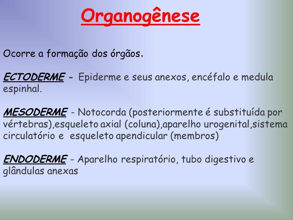 Organogênese Ocorre a formação dos órgãos