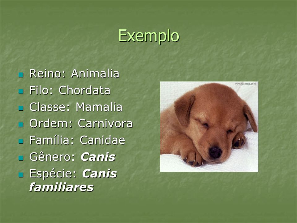 Exemplo Reino: Animalia Filo: Chordata Classe: Mamalia