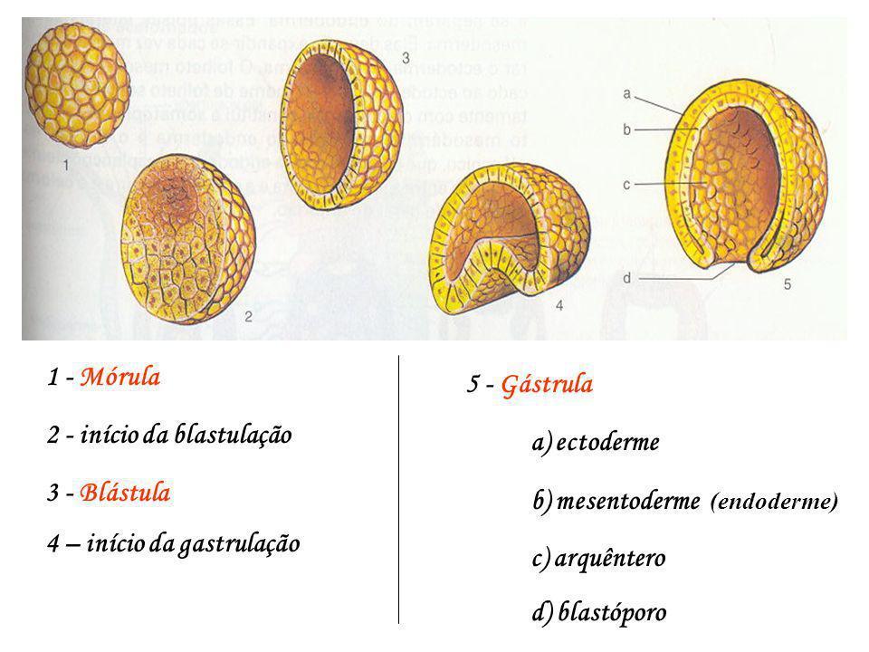1 - Mórula 5 - Gástrula. 2 - início da blastulação. a) ectoderme. 3 - Blástula. b) mesentoderme (endoderme)